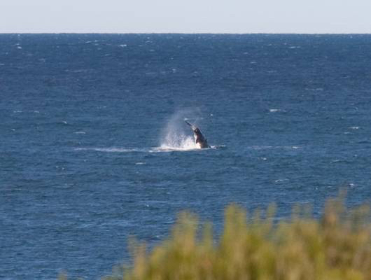Killer_Whale-OPT